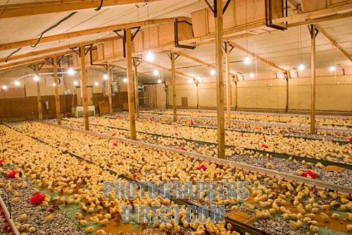 Standard poultry farm picture