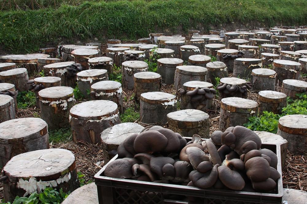 Mushroom Farming in Nigeria