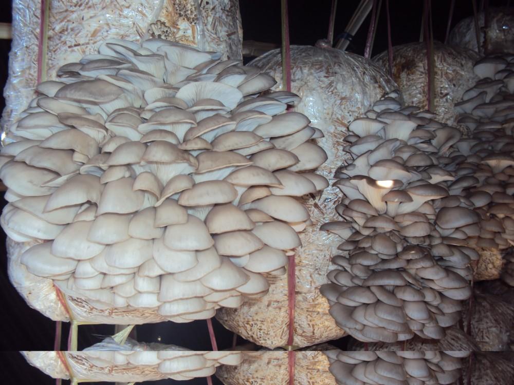 Suitable Mushroom Species For Mushroom Farming